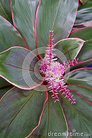 Bromelia en la floración