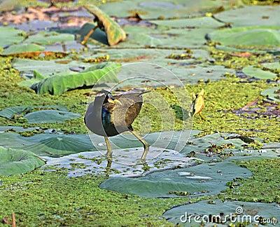 Bronze-winged jacana Stock Photo