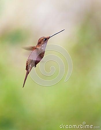 Bronzy Inca in flight
