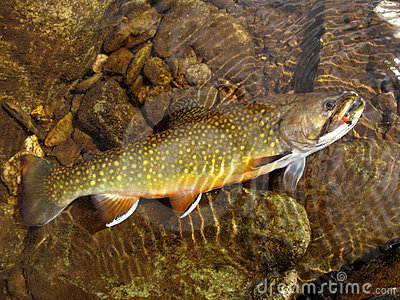 Brook Trout-Full View
