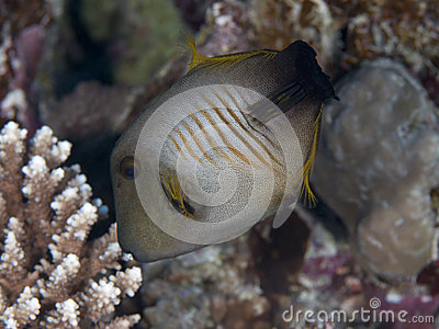Broom filefish