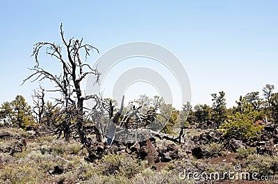 Broom stick tree in a natural semi-arid landscape