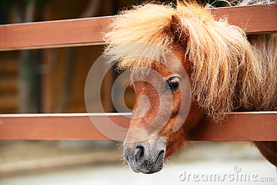 Brow miniature horse