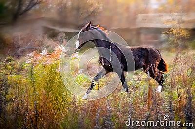 Brown Akhal-Teke foal