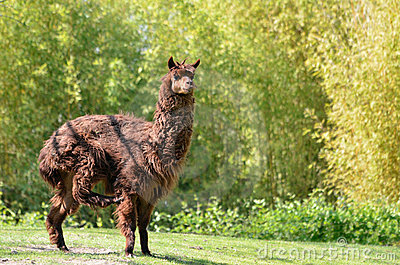 Brown alpaca on grass