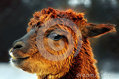 Brown alpaca portrait