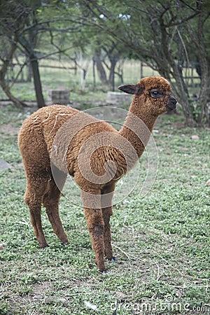 Brown Alpaca (vicugna pacos).