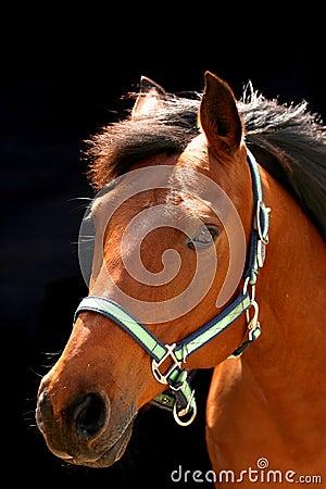 Brown arabian horse