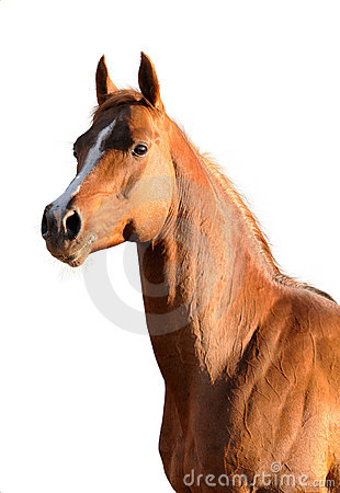 Brown Arabian horse isolated