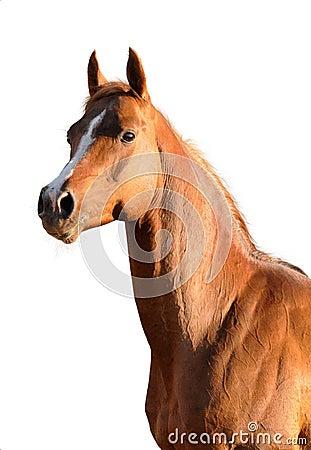 Brown Arabian horse isolated
