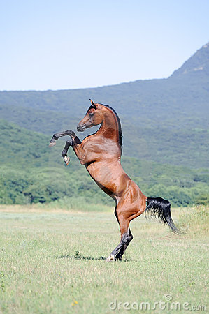 Brown arabian horse rearing on pasture