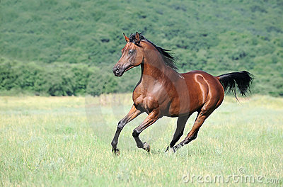 Brown arabian horse running gallop on pasture