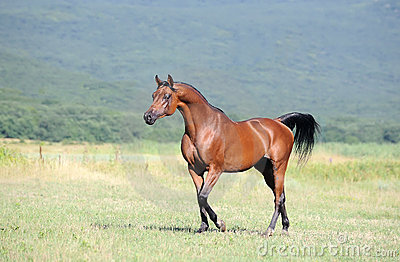 Brown arabian horse running trot on pasture