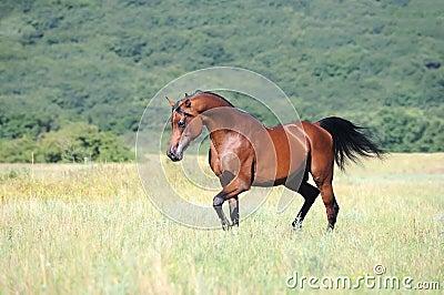 Brown arabian horse running trot on pasture