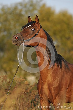 brown arabian horse stallion portrait