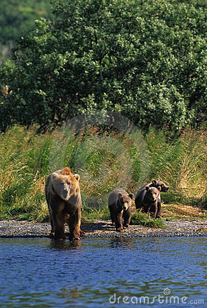 Brown-Bär mit Cubs