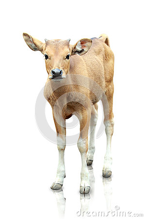 Brown banteng  on white background
