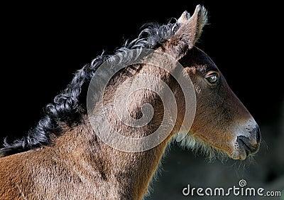 Brown bay foal