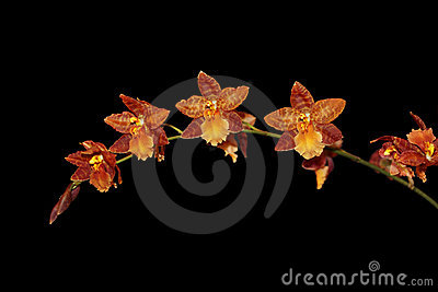 Brown Beallara Orchid