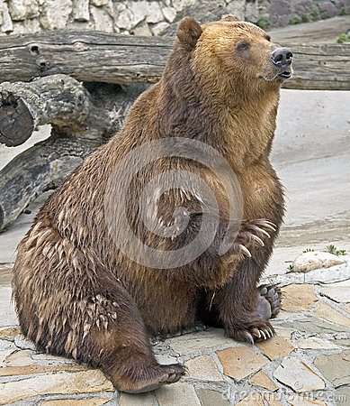 Brown bear 1