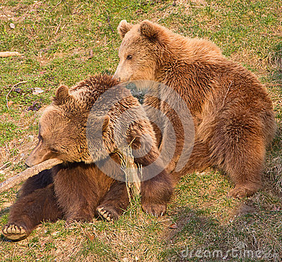 Free Brown Bear And Cub Stock Photography - 28109922