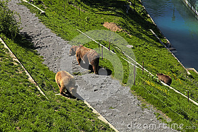 Brown  bear in bear park , Bern, Switzerland.