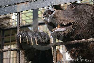 Brown bear in cage