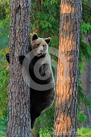 Brown Bear climbs tree