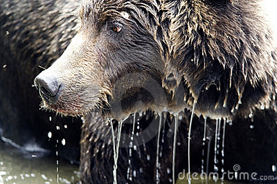 Brown bear. Close up