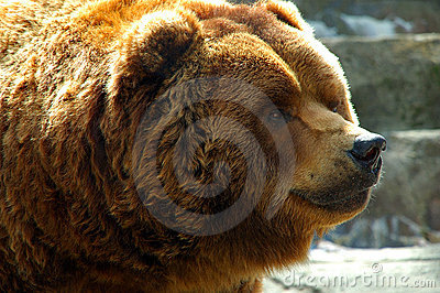 Brown Bear Close up face