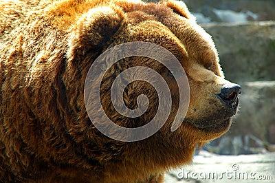 Brown Bear Close up face