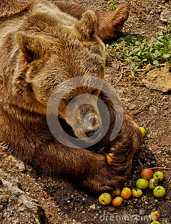 Brown bear eating apples