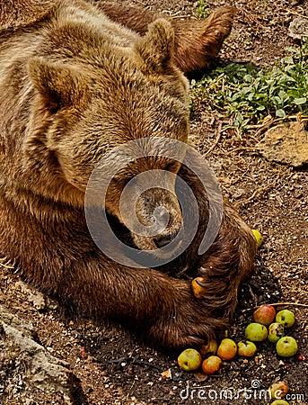 Brown bear eating apples