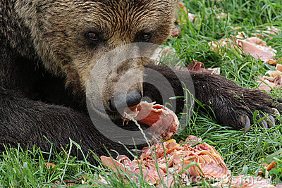 Brown Bear Eating Meat Royalty Free Stock Image Image