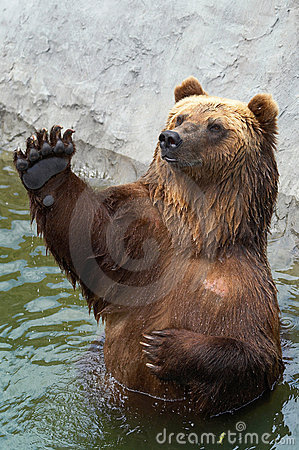 Brown bear greets somebody