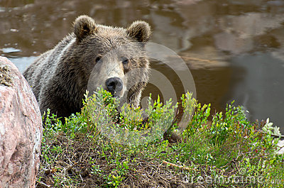 Brown bear hiding