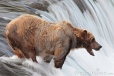 Brown bear, Katmai waterfall, Alaska