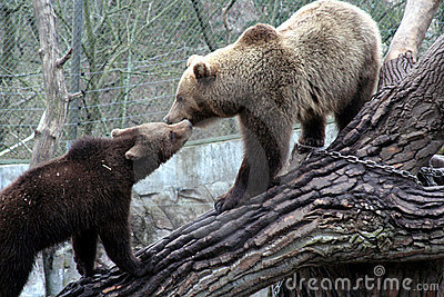 Brown bear kissing, Skansen Park, Stockholm