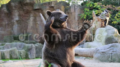 Brown bear looking for food in Madrid Zoo. Spain stock footage