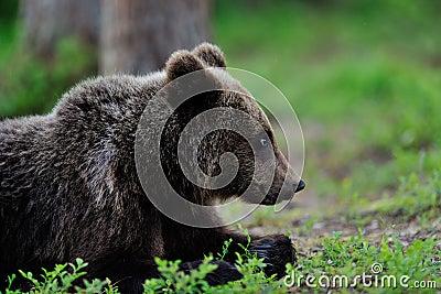 Brown Bear lying