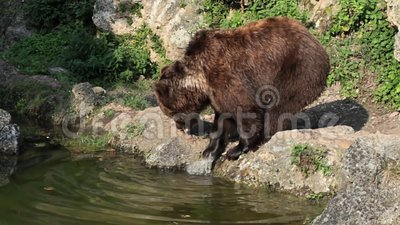 Brown Bear near water. Close-up shot stock footage