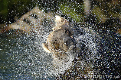 Brown bear in river and water spraying