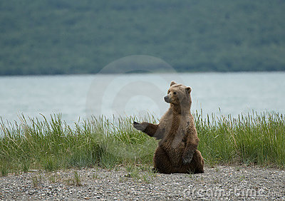 Brown bear sitting on the beach