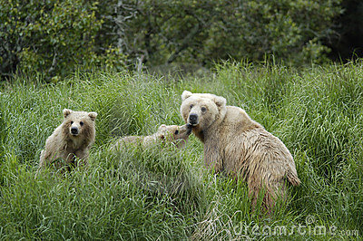 Brown bear sow and her two cubs