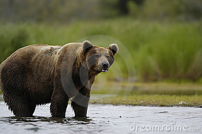 Brown bear standing in Brooks River