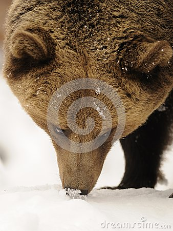 Brown Bear ( Ursus arctos )