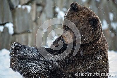 Brown Bear ( Ursus arctos )