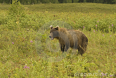Brown bear (Ursus arctos jeniseensis)