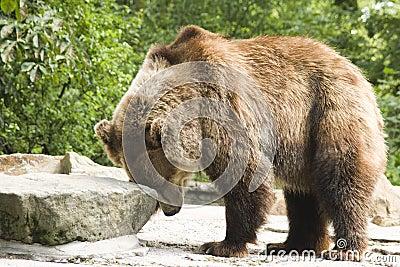 Brown bear in zoo