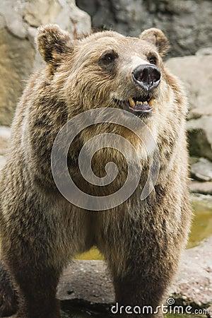 Brown bear in zoo II